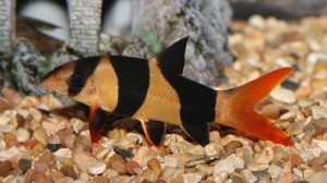 Clown Loach Fish