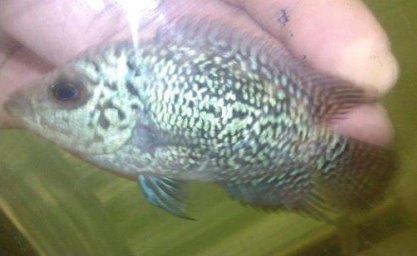 Code # 3890 Flowerhorn Electric Blue 2.5 – 3