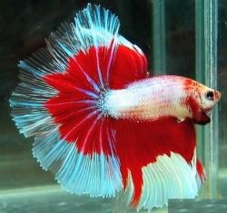 Betta Tropical Fish | Bangkok Thailand Stock Tropical Fish Wholesale Com