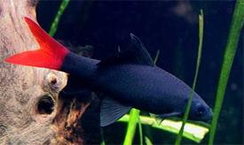 BKG-Shark-Redtail