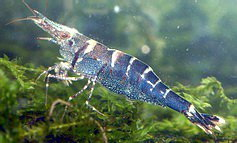 Blue Bee Shrimp