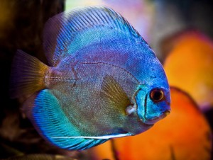 Blue-Discus-Fish-Facing-Right-300x226