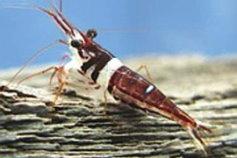 Celebes Beauty Shrimp