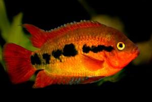 Cichlid-Fish-2-300x202