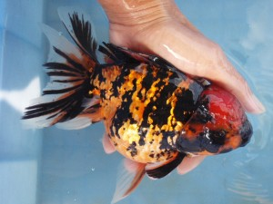 HKG-Goldfish-Oranda-Zebra-300x225