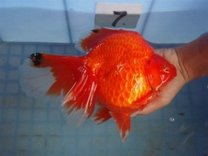 HKG-Goldfish-Ryukin-Red-Broad-tail-300x225