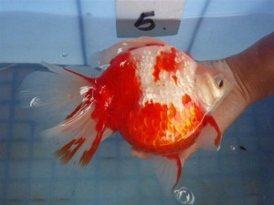 HKG-Goldfish-Ryukin-Red-White-Broad-tail-2-300x225