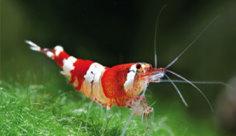 IND-Shrimp-4450-Red-Crystal