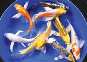 Malaysian koi for Cheap koi fish