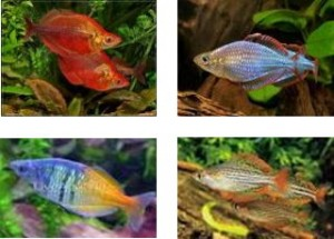 Rainbow-Fish-4-types-300x215