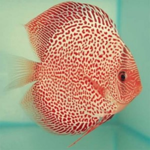 SINGAPORE-Discus-Red-Leopard-facing-right-300x300